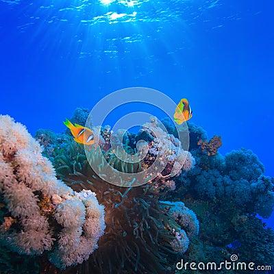 Underwater photo coral garden with anemone of yellow clownfish