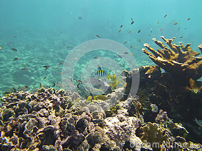 Coral reef and  shoal of fishes at the bottom of red sea in underwater photo