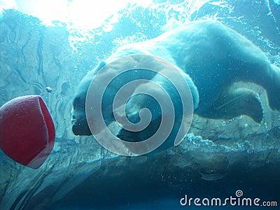 Underwater Polar Bear