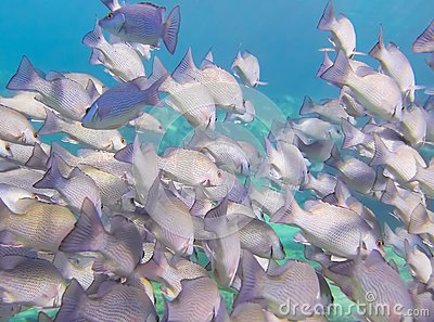 Underwater school of fish