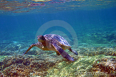 Underwater Sea Turtle in Hawaii