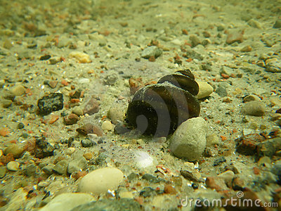 Underwater snail on sandy bottom