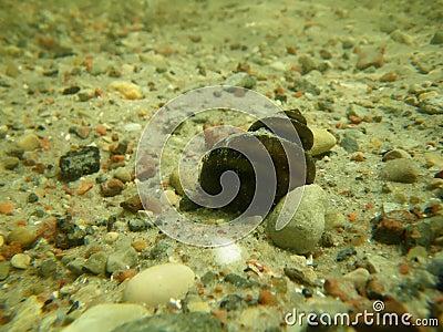 Underwater snail on sandy bottom