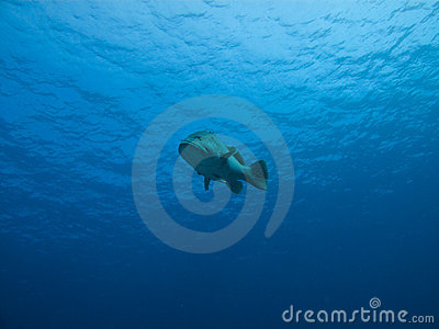 Underwater View of Giant Potato Cod, GB Reef AU
