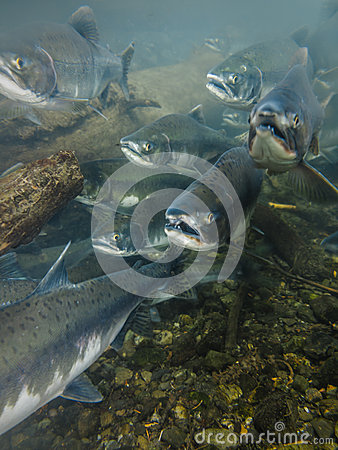 Free Underwater View Mouth Open Heads Of Sockeye Salmon Spawning Stock Image - 34622361
