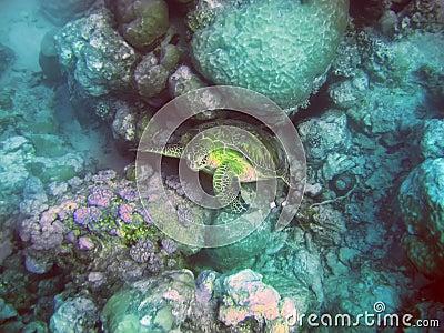Underwater world- Turtle in stones. Mauritius.