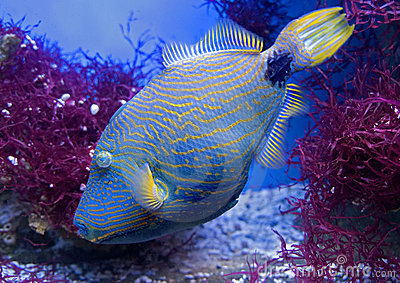 Undulate triggerfish 1