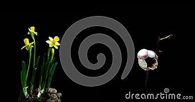 Une collection de jonquilles et d'orchid?es de floraison, un collage de deux timelaps banque de vidéos