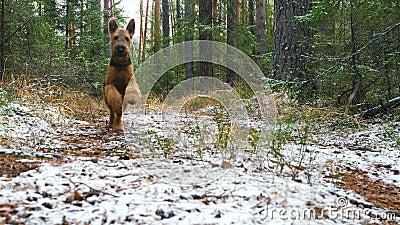 Une jeune race de chien qu'Airedale Terrier court par la forêt d'automne a couvert de couche mince de neige banque de vidéos