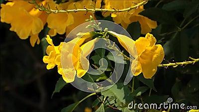 Une longueur d'abeille recherchant une douceur de fleur jaune à un jardin botanique banque de vidéos