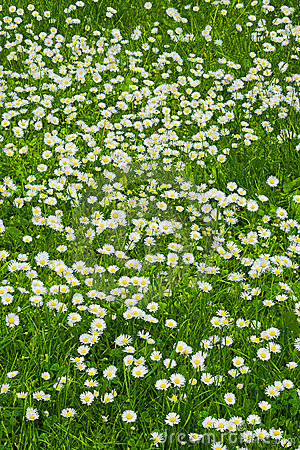 une pelouse des fleurs blanches photographie stock libre de droits image 2713977. Black Bedroom Furniture Sets. Home Design Ideas
