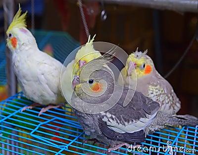 une vol e des oiseaux de cockatiel vendre au jardin hong kong d 39 oiseau photo stock image. Black Bedroom Furniture Sets. Home Design Ideas