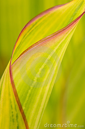 Unfurling Spring Leaf