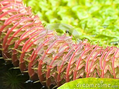 Unfurling Water Lily Leaf