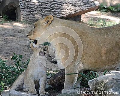 Unhappy cub