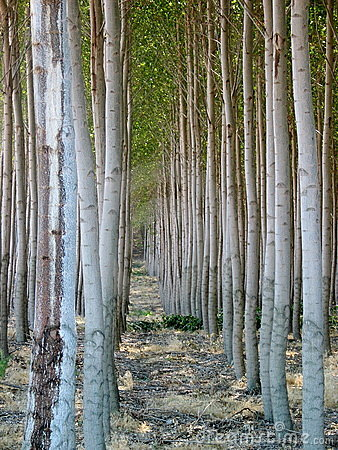 Uniform Poplar Trees in Oregon