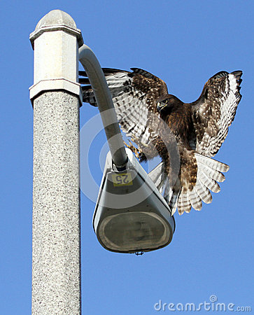 Unique Red Tail Hawk landing on lamp post
