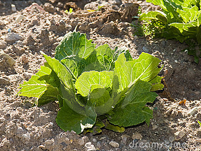 Unit of lettuce luxuriant