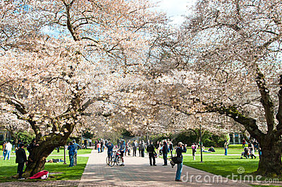 University of Washington Blooming Cherry Trees Editorial Stock Image