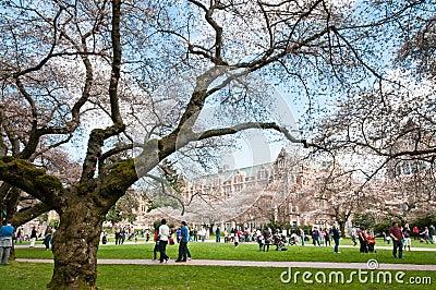 University of Washington Blossoming Cherry Trees
