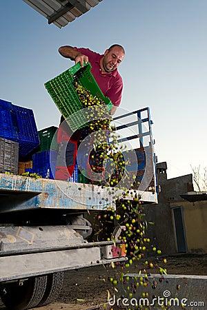 Unloading olives