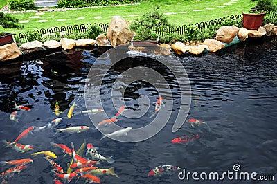 Uno stagno di pesci in giardino fotografie stock for Stagno giardino