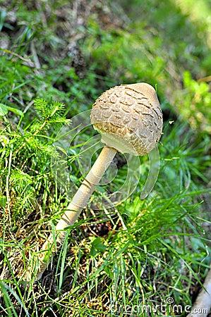 Unopened parasol mushroom macrolepiota procera