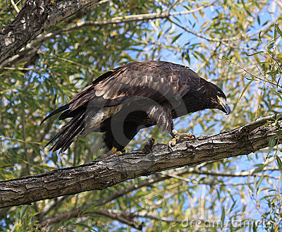 Unreifer kahler Adler