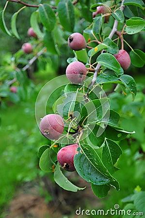 Unripe apples on tree
