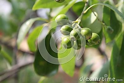 Unripe fruits of Santalum album, Indian sandal wood tree