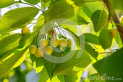 Unripe green cherries