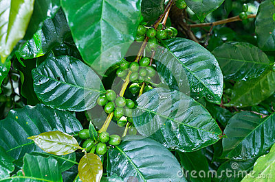 Unripe green coffee beans on coffee tree.