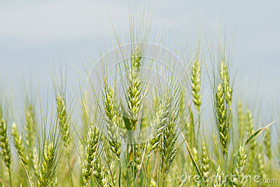 Unripe green wheat