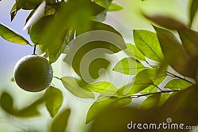 Unripe Orange Hanging from a Citrus Tree
