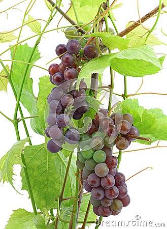 Unripe red grapes