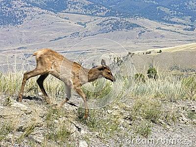 Unscharfe Yellowstone-Fauna in der Bewegung