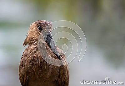 Unusual African Hammerkop