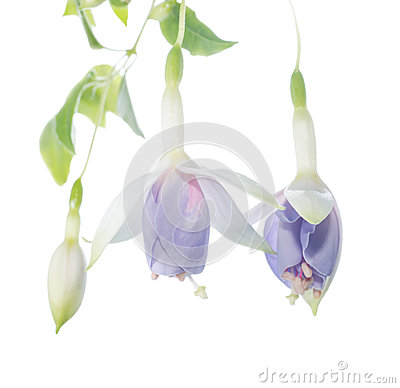 Unusual, gentle coloring fuchsia branch isolated