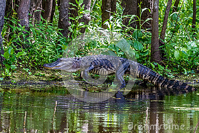 An Unusual Shot of a Large American Alligator (Alligator mississippiensis) Walking on a Lake Bank in the Wild