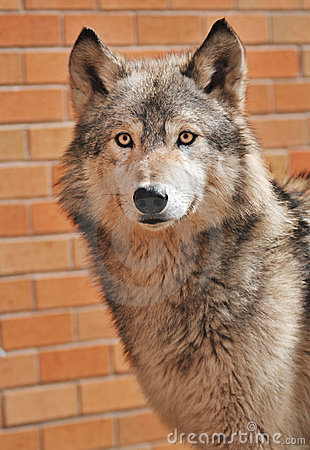 Free Up Against A Wall Timber Wolf Stock Photo - 5290260