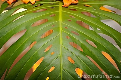 Up close banana tree leaf