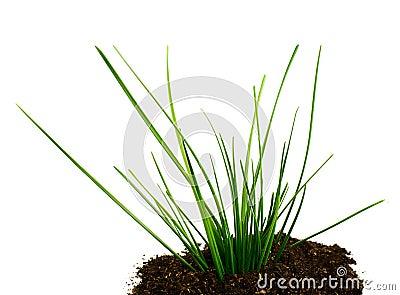 Upgrowth green grass