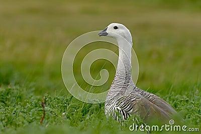 Upland Goose in Patagonia