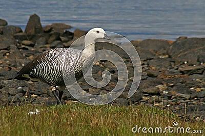 Upland goose, Tierra del Fuego, Argentina