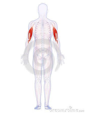 The upper arm muscles