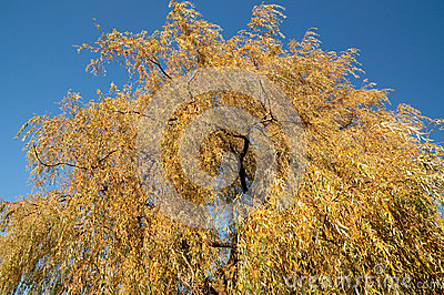 Upper part of the Golden Weeping Willow in Autumn
