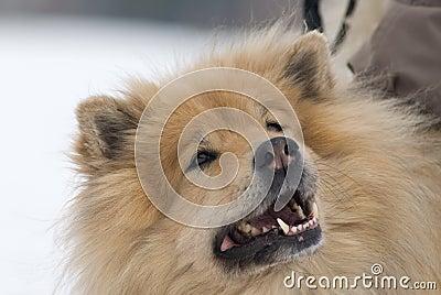 Uppnosig hund