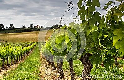 Uprawy winogron