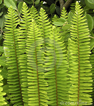 Upright fern