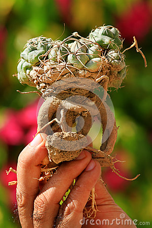 Uprooted cactus